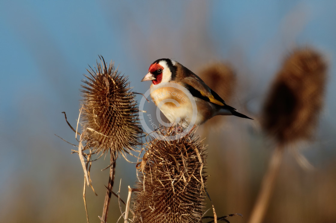 """Goldfinch on the teasels taking the seeds"" stock image"