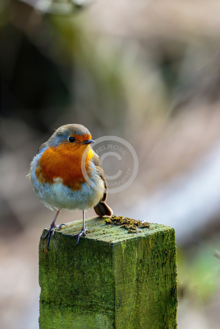 """Robin perched on the fence post"" stock image"