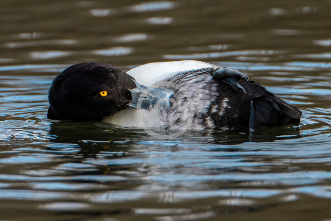 """""""Male Tufted Duck Preening"""" stock image"""
