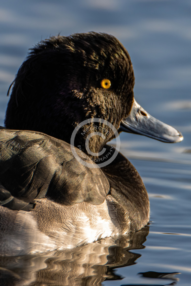 """""""Male Tufted Duck"""" stock image"""