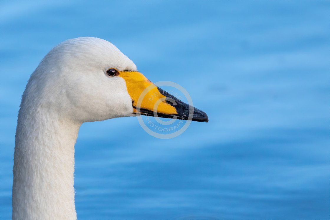 """Hooper Swan looking sideways"" stock image"