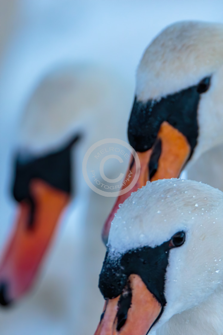 """Three mute swans in a row"" stock image"