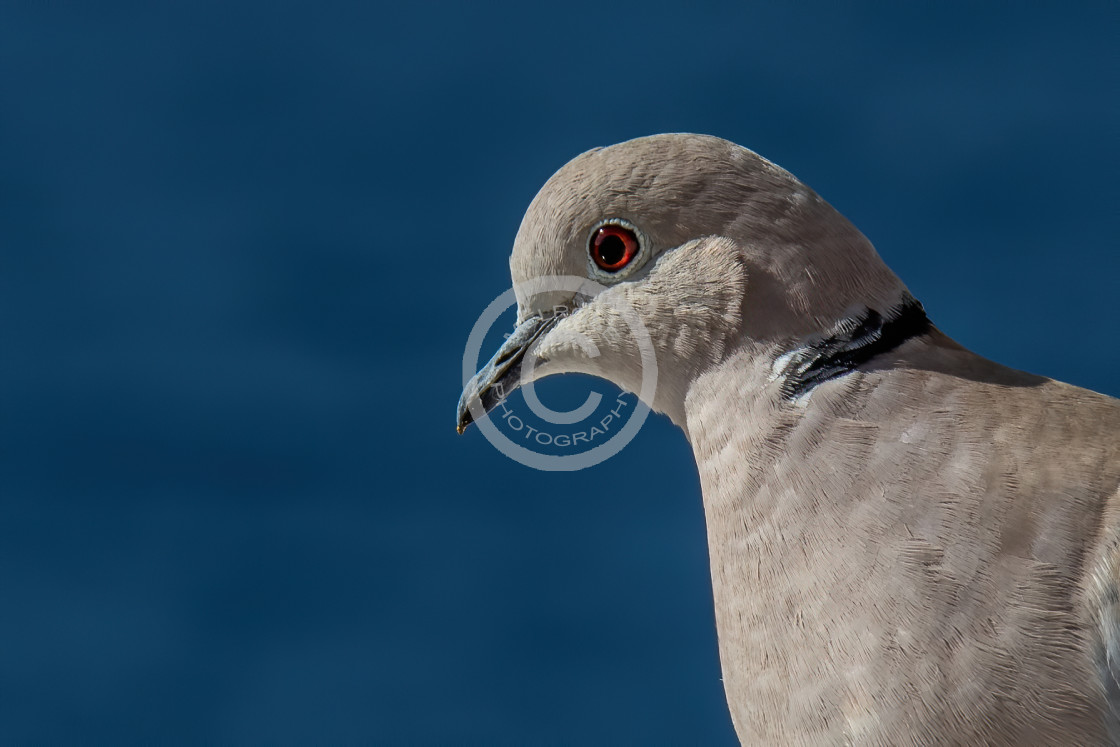 """Collared Dove on the balcony"" stock image"