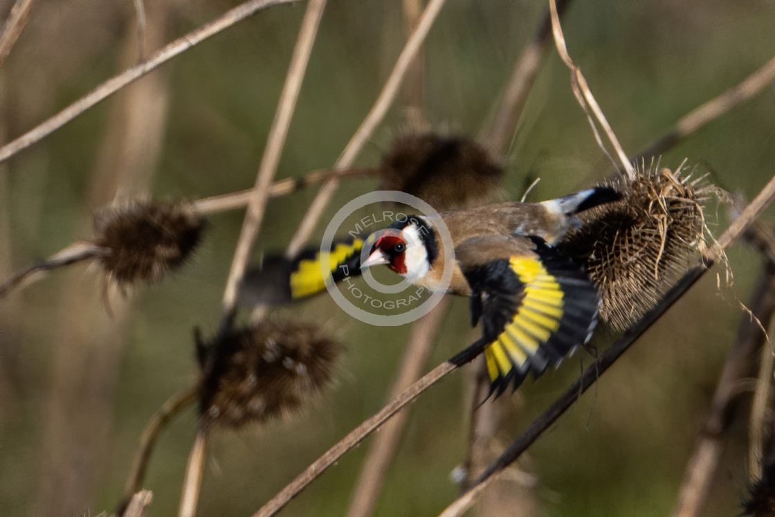 """Goldfinch on the Teasels flying to the next one"" stock image"