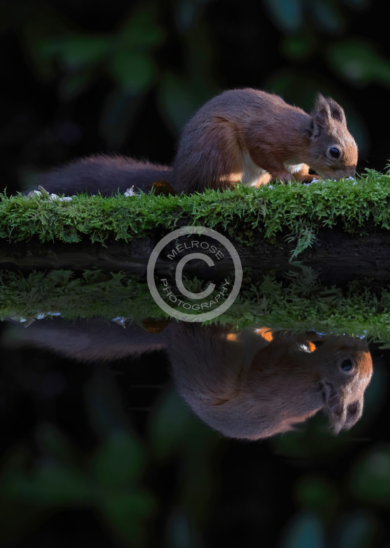 """Red Squirrel reflection"" stock image"