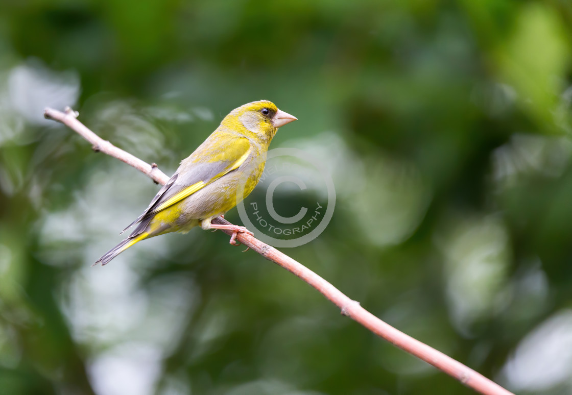 """""""Lovely Greenfinch"""" stock image"""