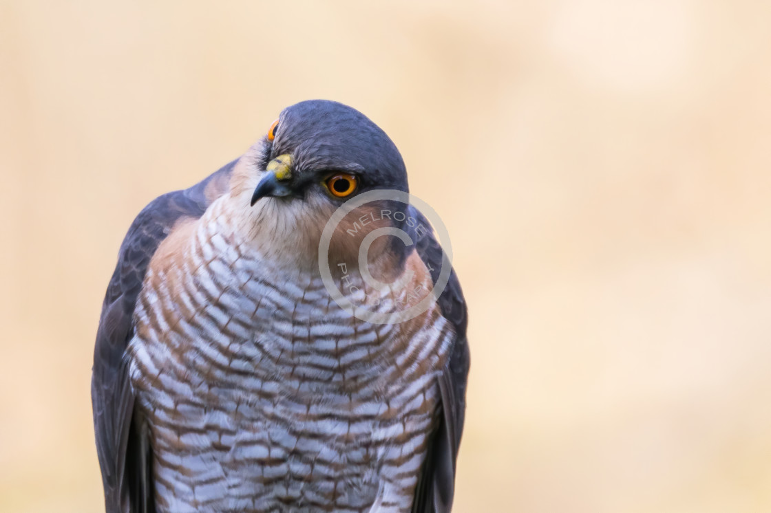 """""""Sparrow Hawk waiting and watching"""" stock image"""