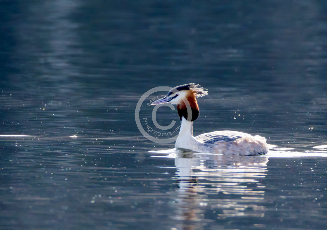 """""""Great Crested Grebe"""" stock image"""
