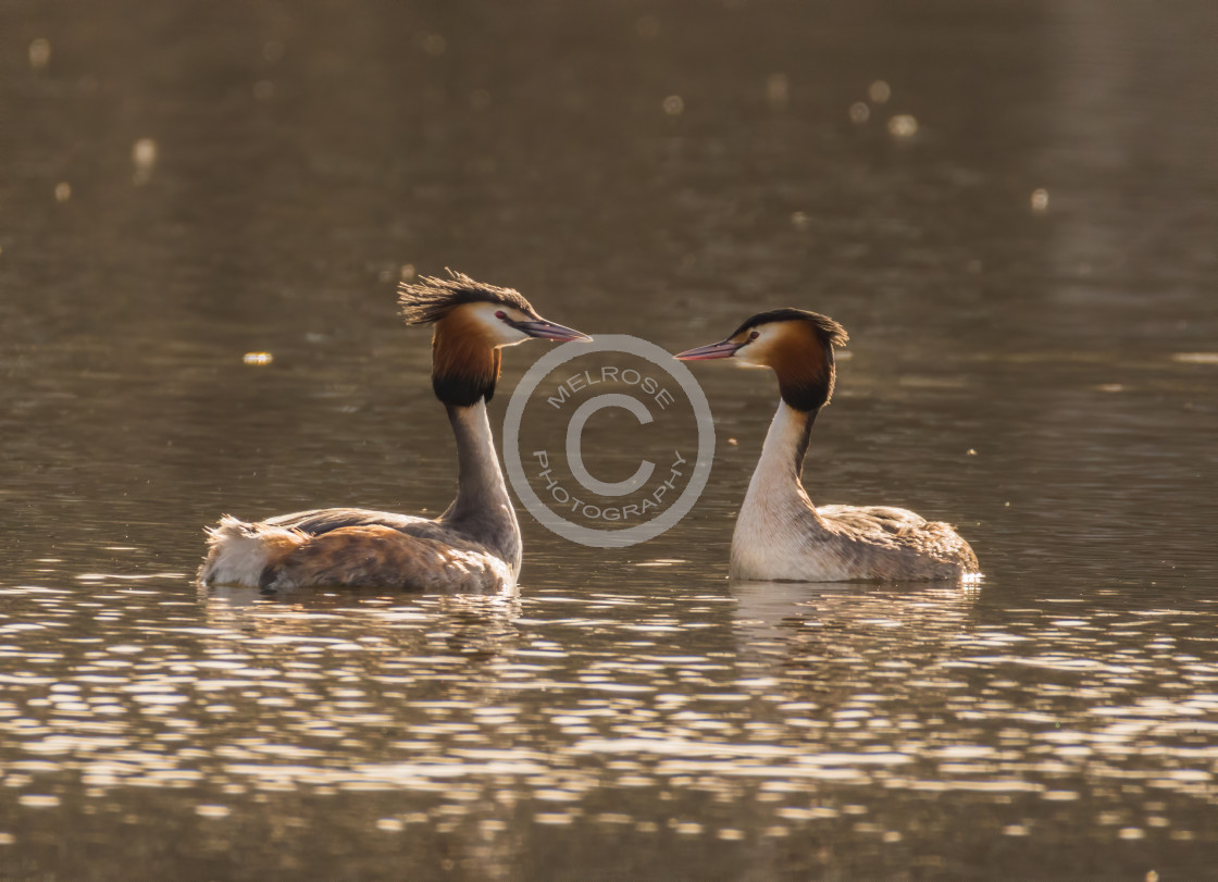 """""""Great Crested Grebe going through the courting ritual"""" stock image"""