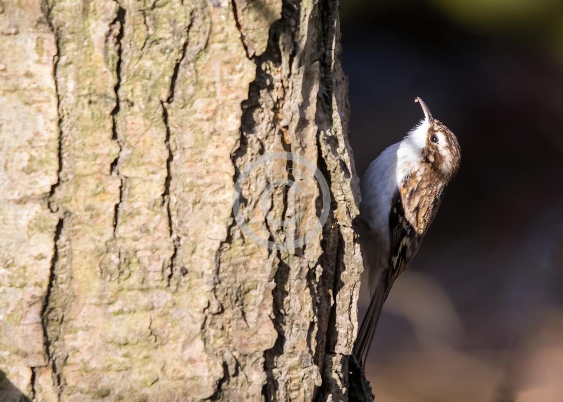 """Tree Creeper ona tree looking for bugs"" stock image"