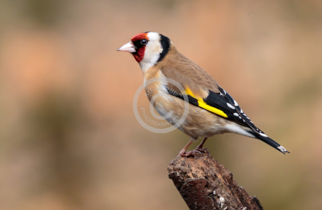 """Goldfinch on perch"" stock image"