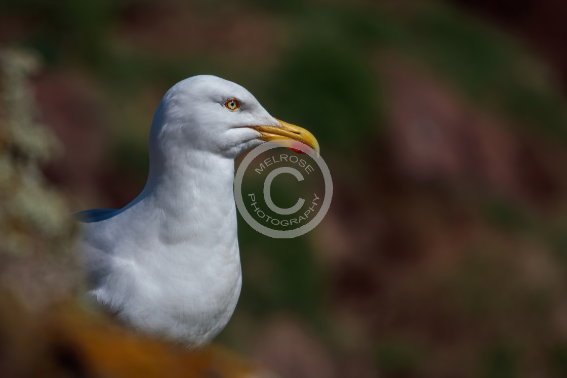 """""""Puffin of the Isle of may"""" stock image"""