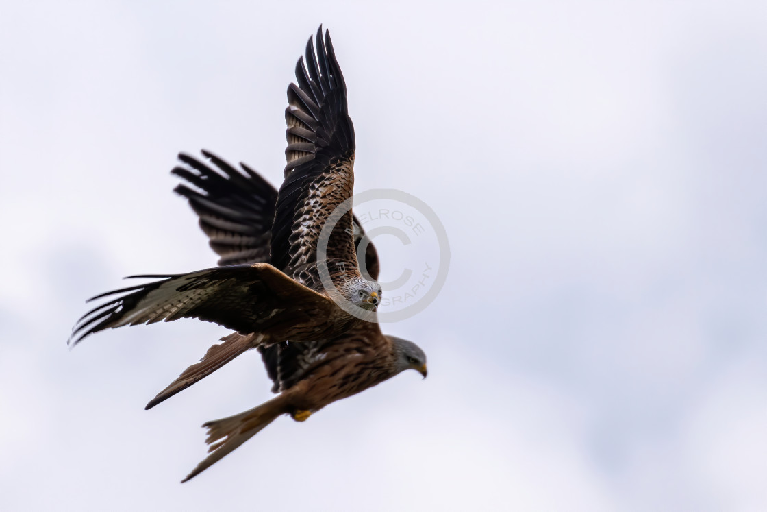 """Two Red Kites side by side"" stock image"