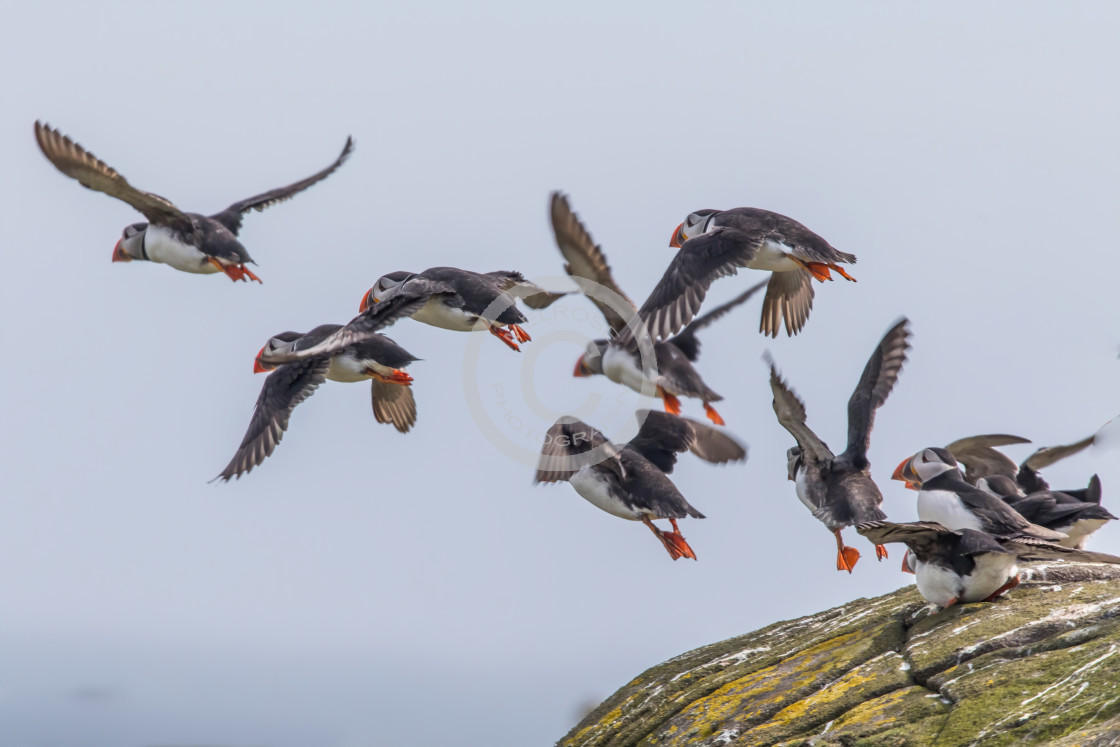 """""""Puffins on the Isle of May"""" stock image"""