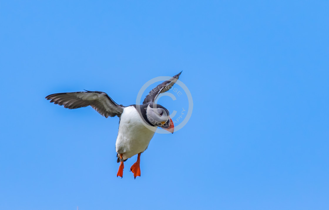 """""""Puffin on the Isle of May"""" stock image"""