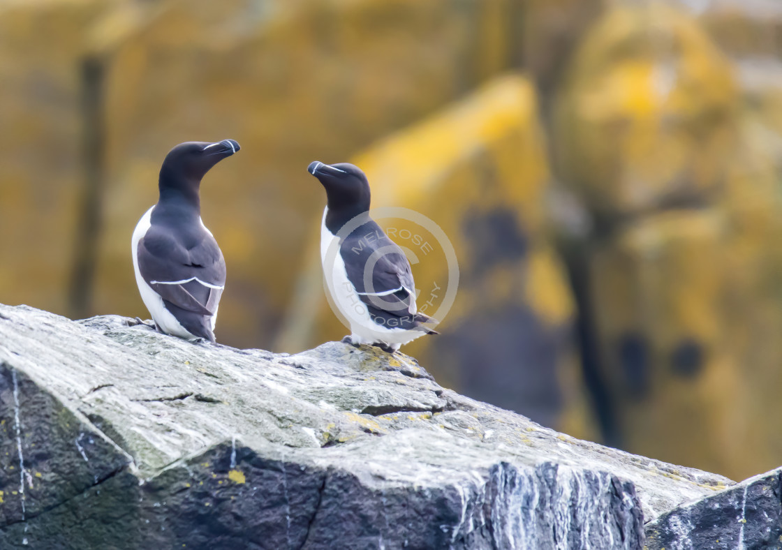 """Razor Bills on the Isle of May"" stock image"