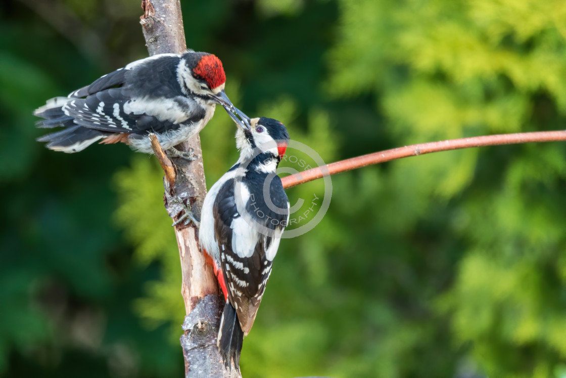 """Greater Spotted Woodpecker parent feeding baby"" stock image"
