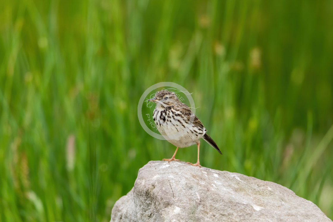 """Meadow Pipit sitting proudly on a rock with nesting material"" stock image"