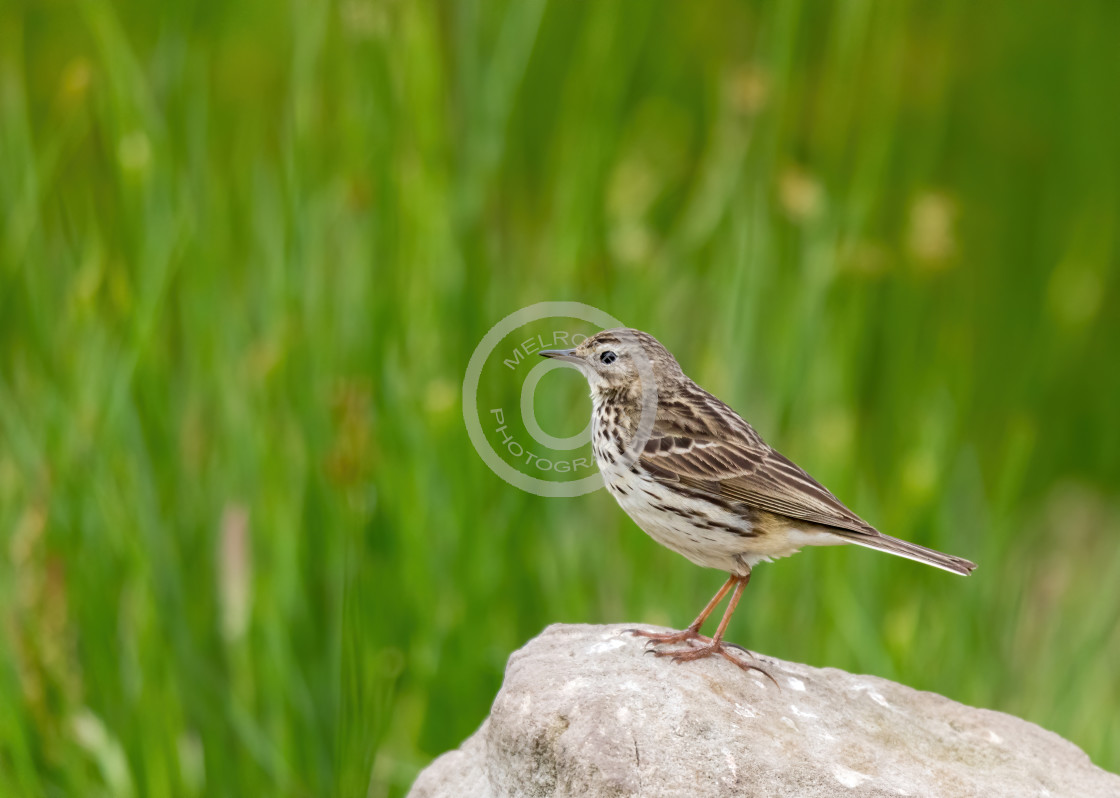 """""""Meadow Pipit sitting proudly on a rock"""" stock image"""