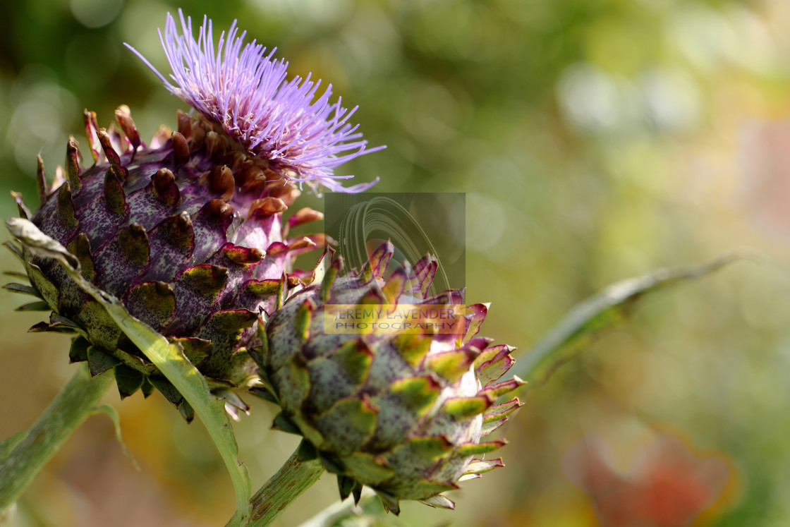 """Thistle Flowers"" stock image"