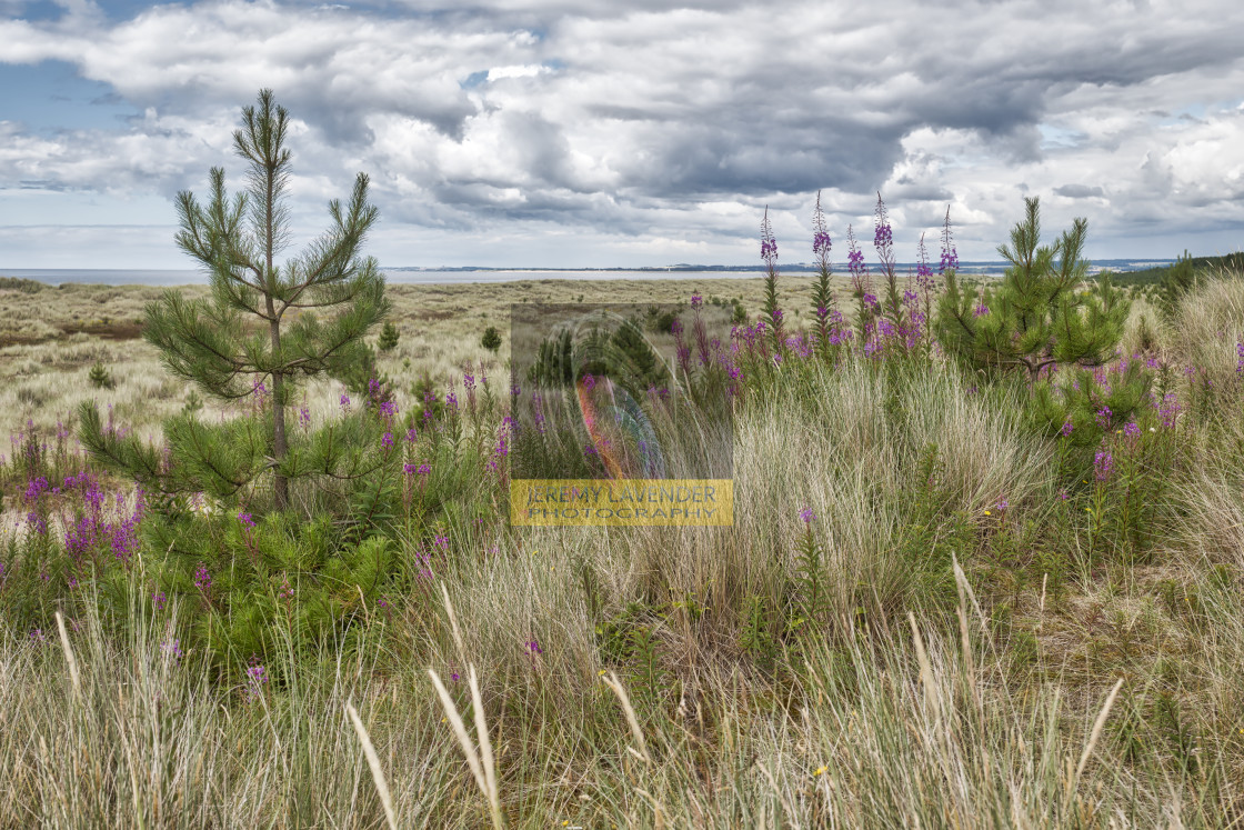 """Tentsmuir Forest and Beach Park in Scotland"" stock image"