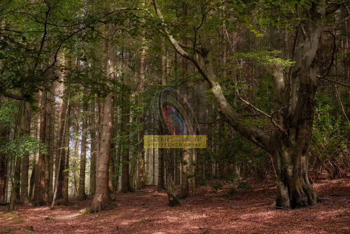 """Devilla Forest in Kincardine"" stock image"