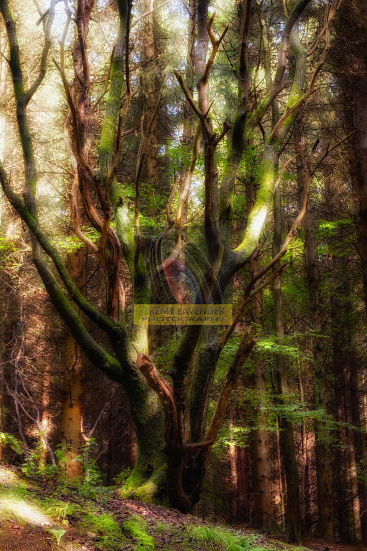 """""""Ethereal Devilla Forest"""" stock image"""