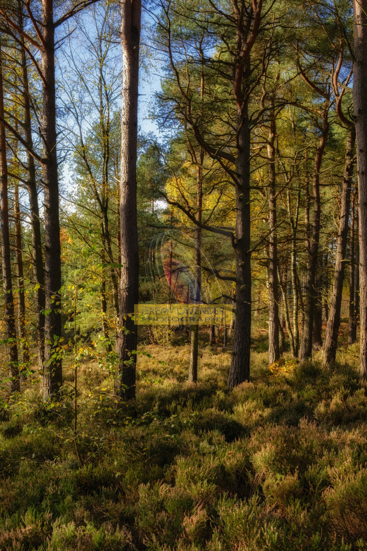 """Autumn walk through Devilla forest"" stock image"