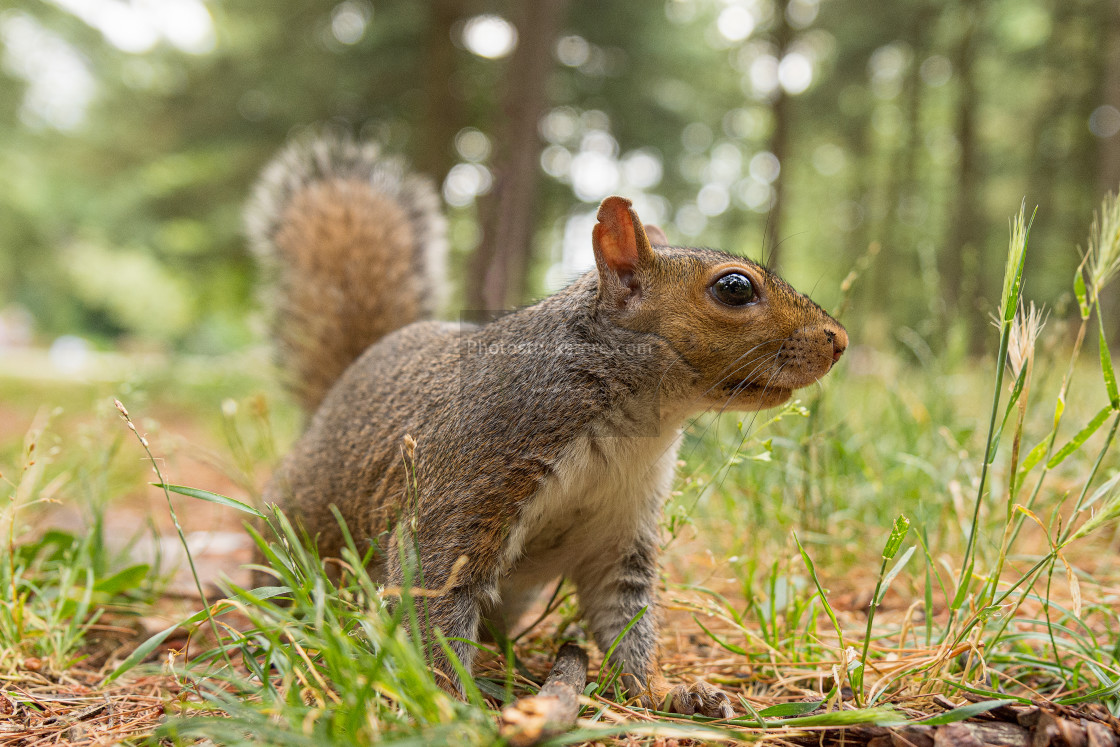 """Portrait of gray squirrel in the forest"" stock image"