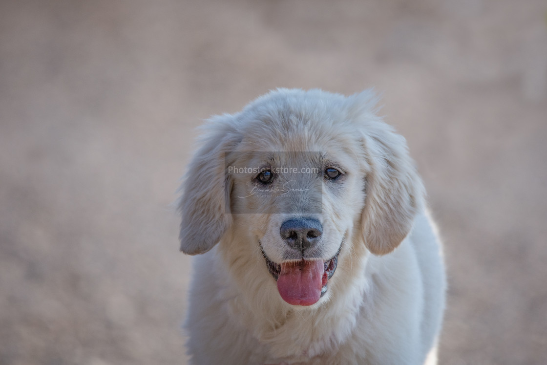 """Young Golden Retriever breed dog with light fur stares into your"" stock image"