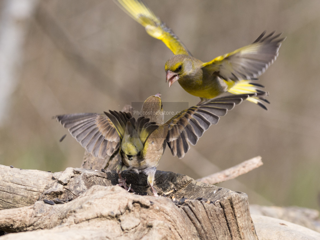 """European greenfinch that compete for food"" stock image"