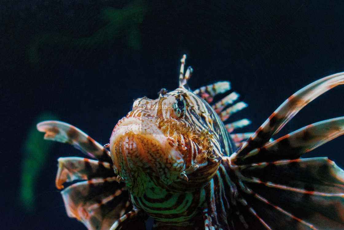 """The red lionfish (Pterois volitans)"" stock image"