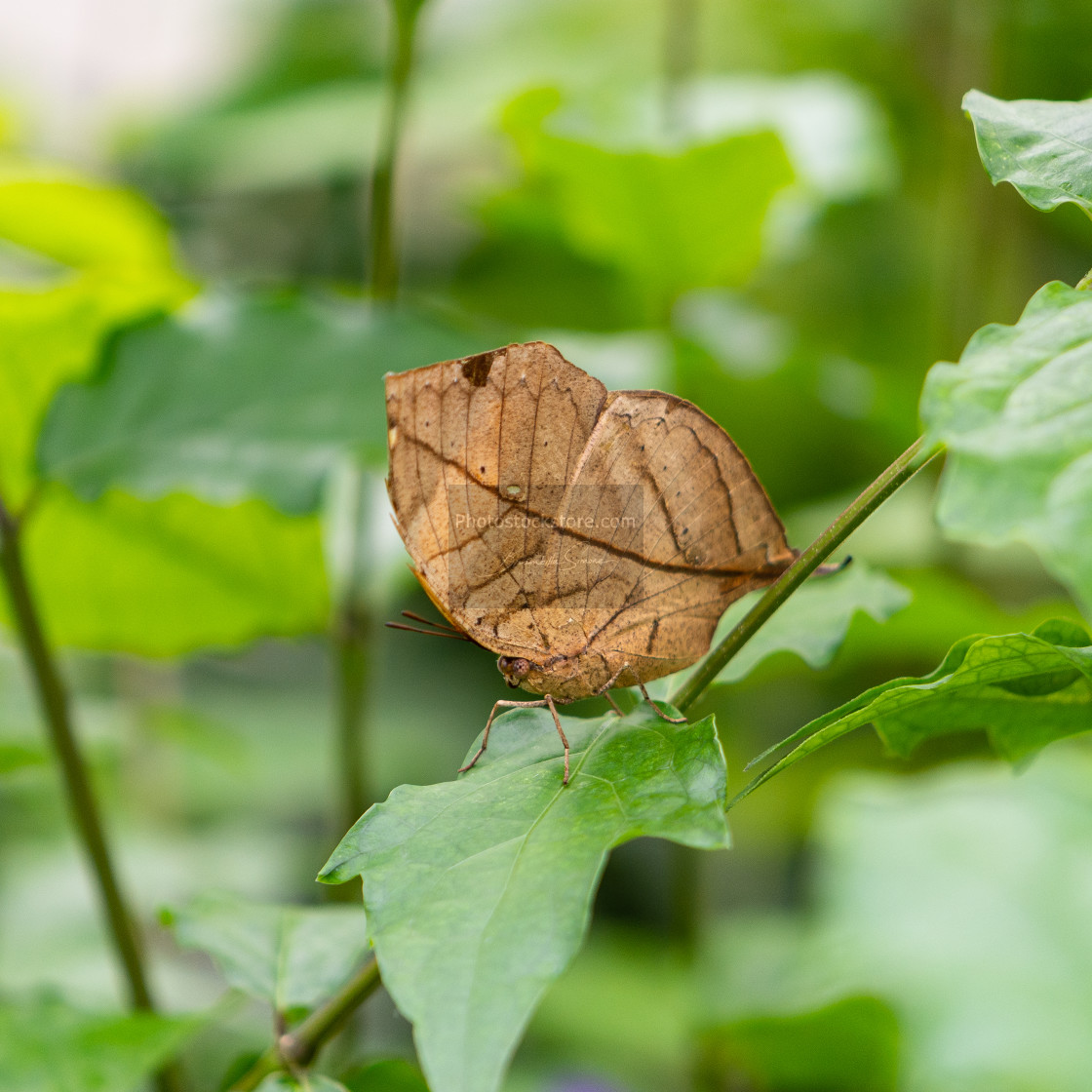 """Orange oakleaf, Indian oakleaf or dead leaf, is a nymphalid butt"" stock image"
