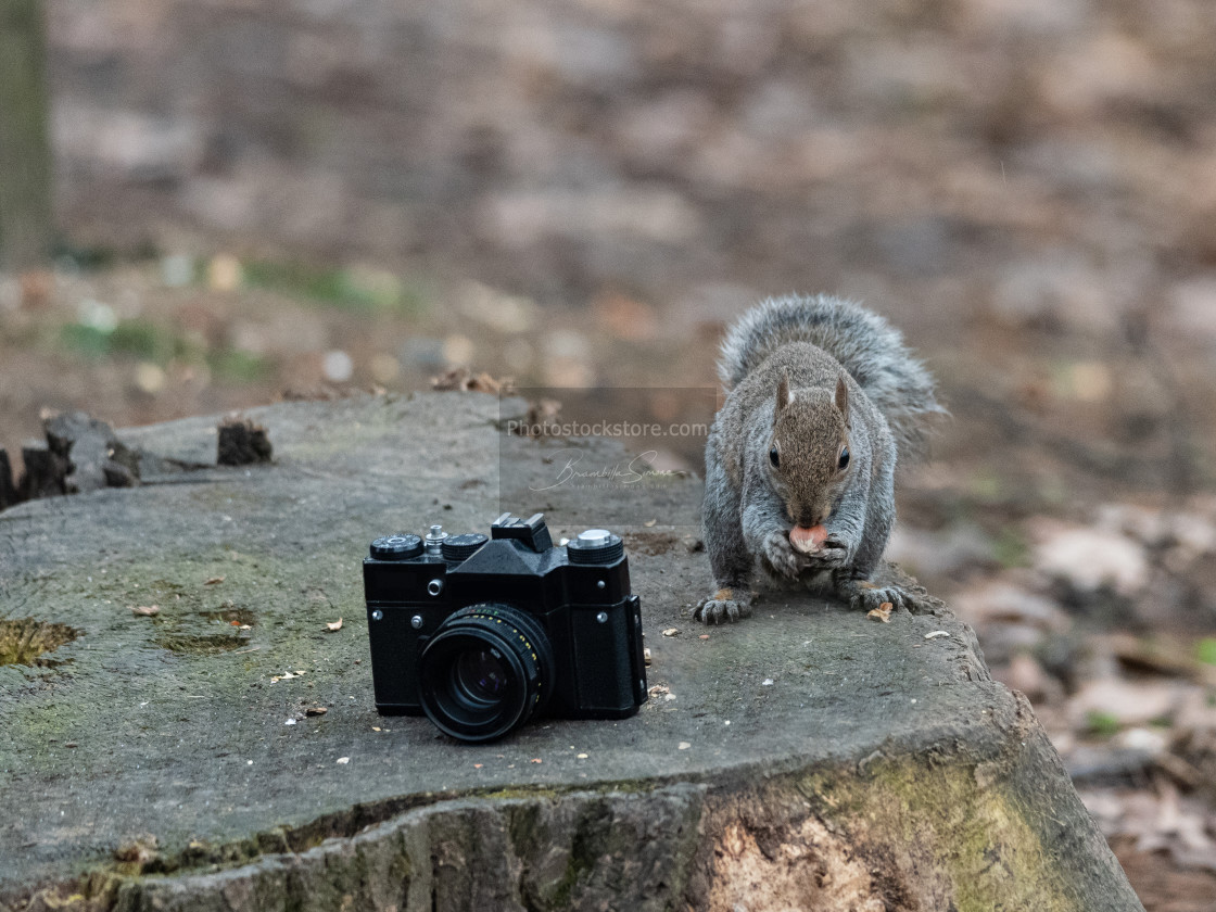 """A gray squirrel eats a peanut near an old camera"" stock image"