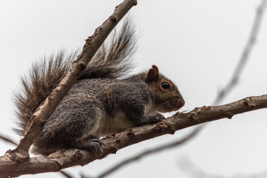 """gray squirrel crouching in tree branches"" stock image"