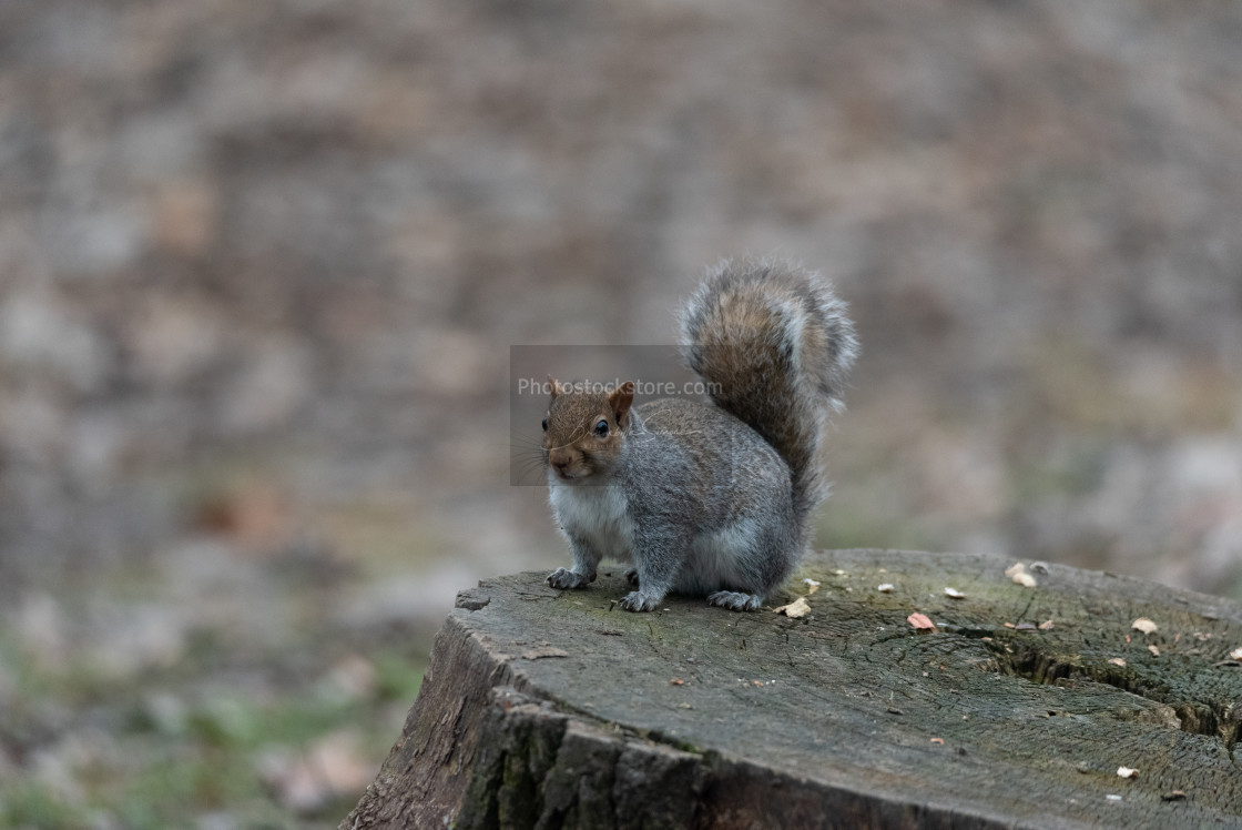 """chubby gray squirrel on two legs in the woods"" stock image"