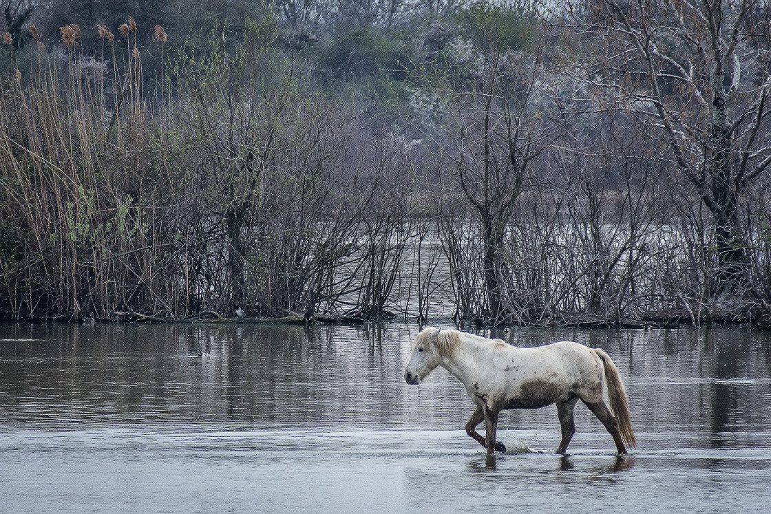 """Camargue horse walks muddy in the water"" stock image"