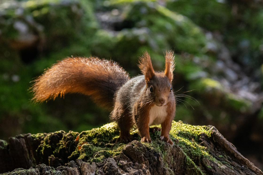 """European red squirrel crouching on a trunk"" stock image"