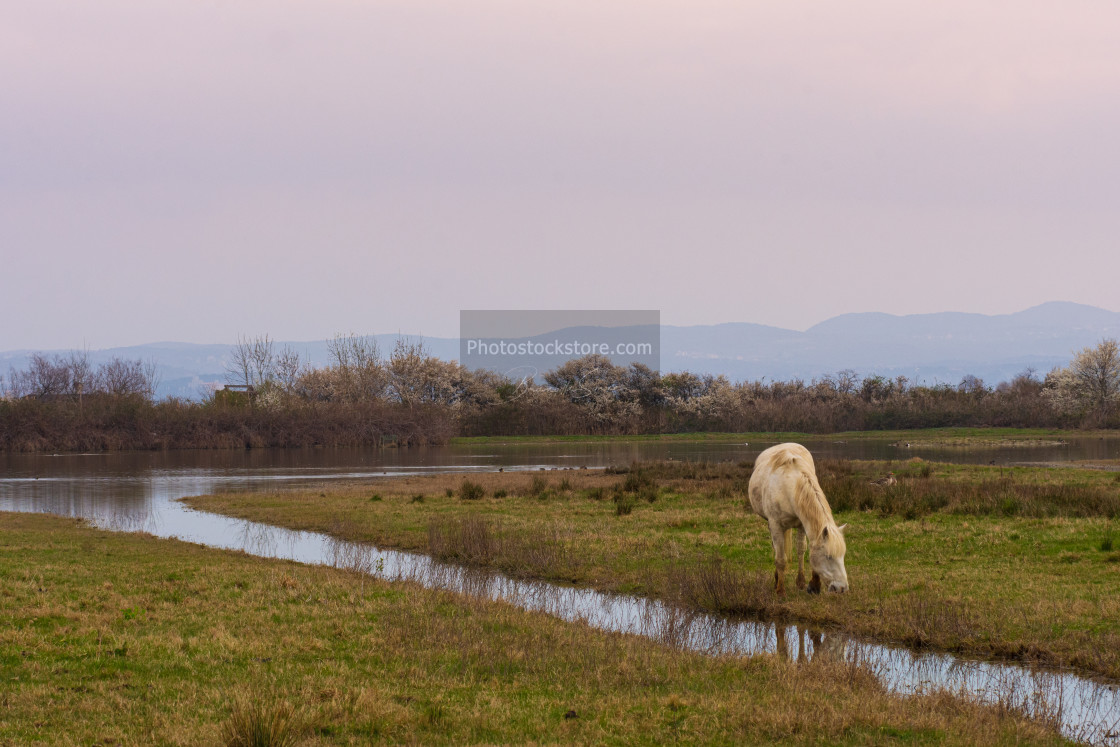 """""""Free Camargue horses in a nature reserve"""" stock image"""