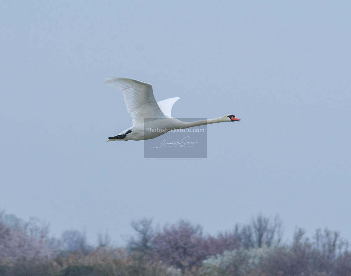 """Mute swan flying in the blue sky in Italy"" stock image"