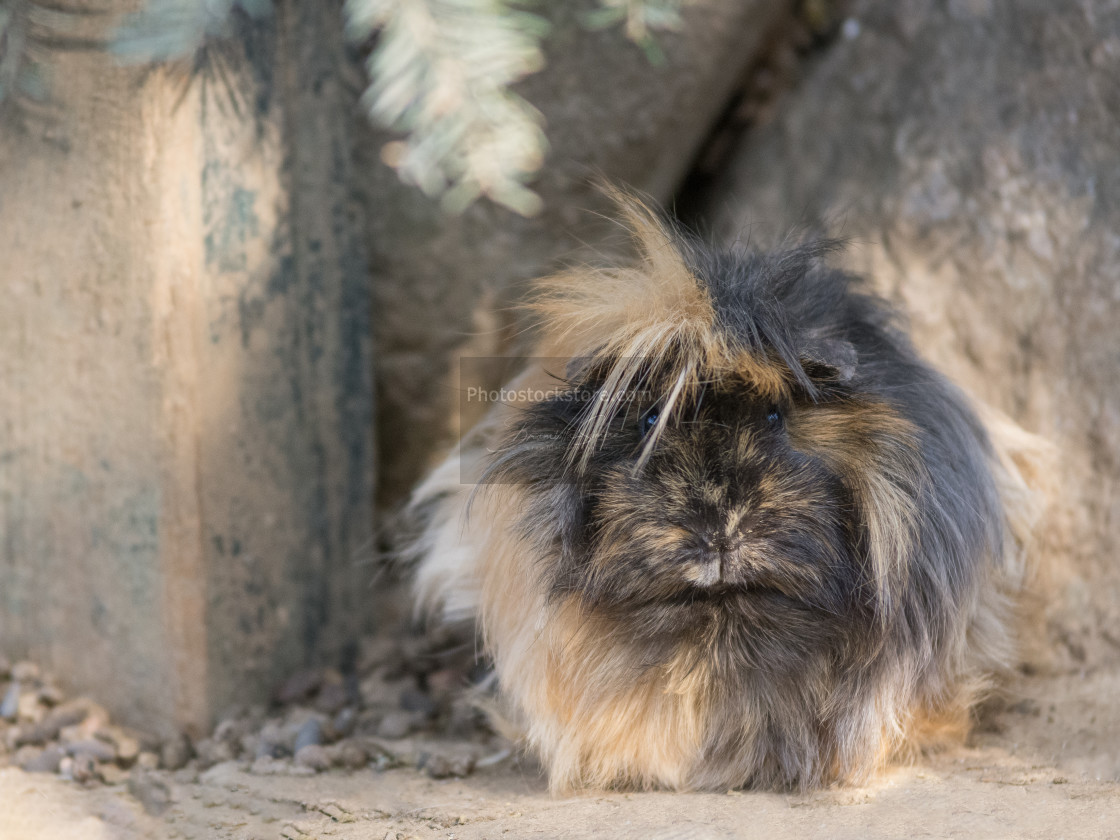 """Abyssinian guinea pigs with dark coat"" stock image"