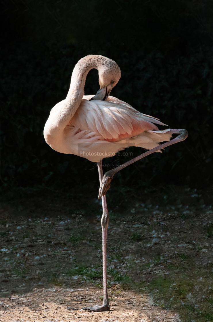 """Red flamingo on one leg"" stock image"