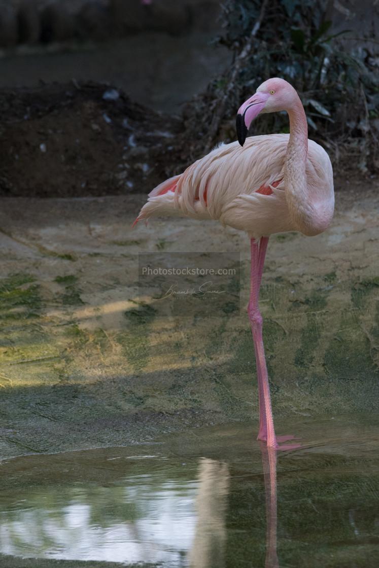 """Red flamingo on one leg, wildlife"" stock image"