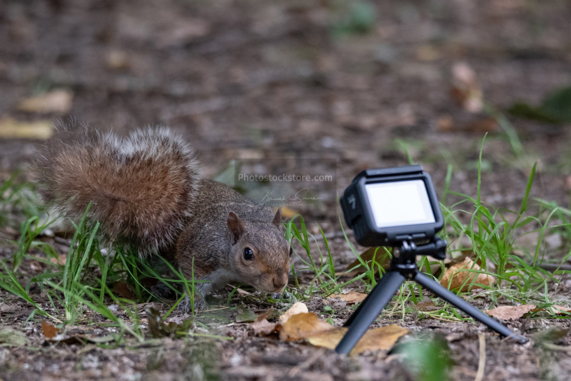 """Gray squirrel taken from an action cam"" stock image"
