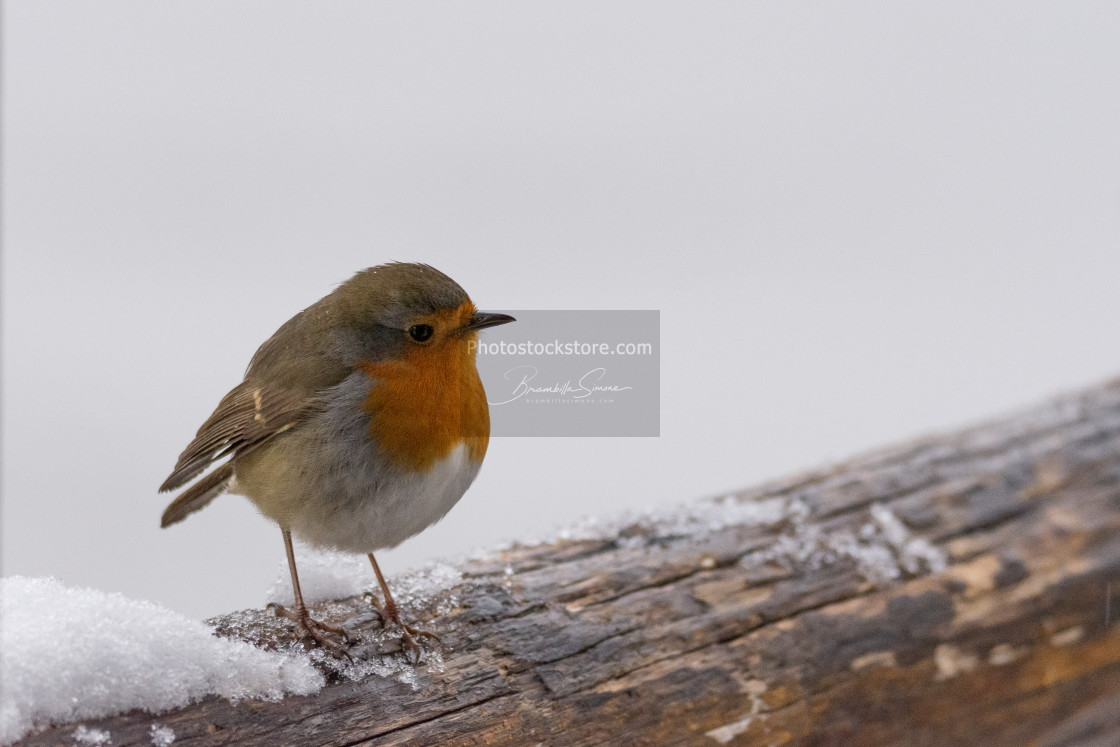 """""""Small robin perched on a snowy wooden branch"""" stock image"""