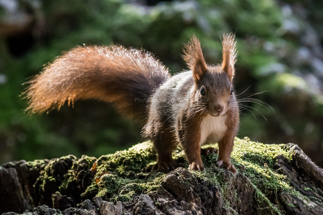 """""""European red squirrel with a long tail resting on a log with moss"""" stock image"""