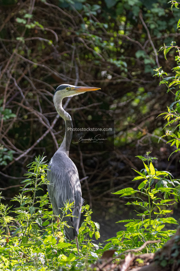 """Gray heron on the edge of a pond"" stock image"