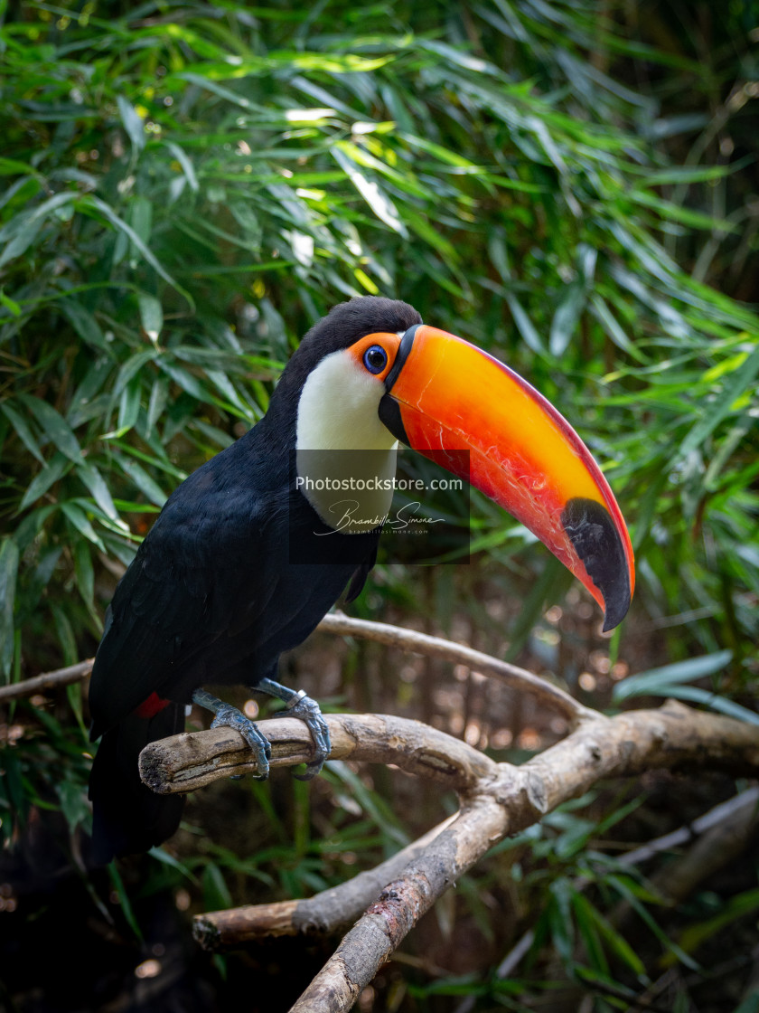 """A toucan laid on a tree branch in the forest"" stock image"