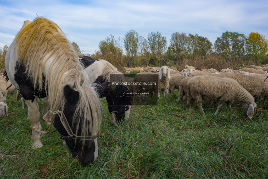 """Sheep-farming in the Bergamasca plain"" stock image"