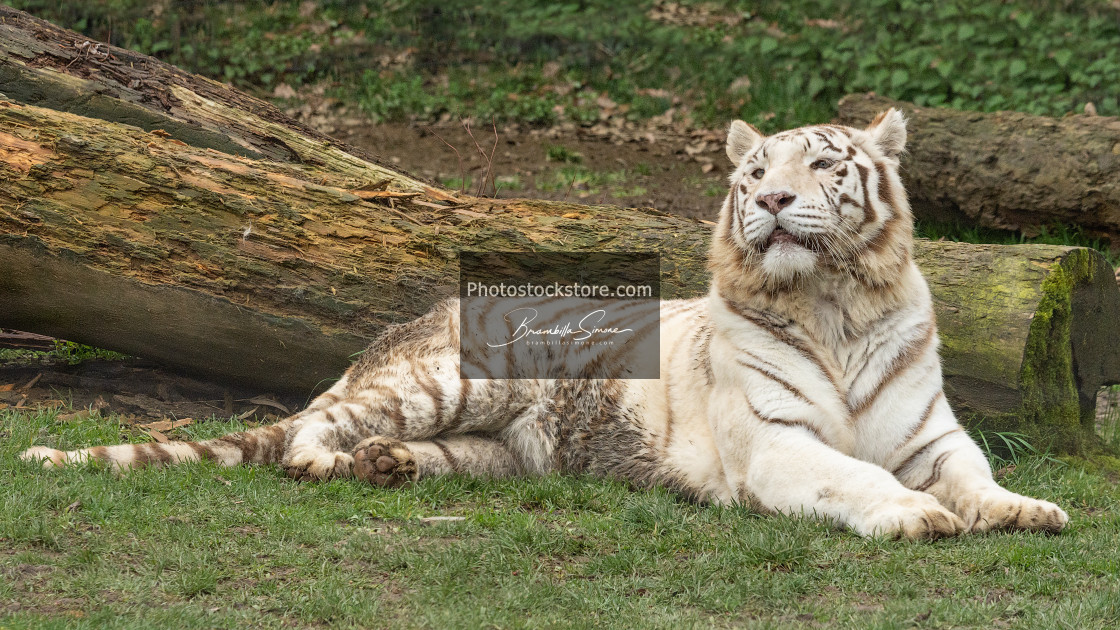 """The white tiger or bleached tiger (Tigre bianca del Bengala)"" stock image"